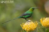 Emeraldhoningzuiger