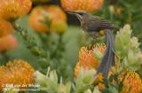 Kaapse Suikervogel