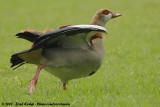 Egyptian GooseAlopochen aegyptiaca