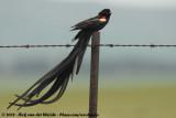 Hanenstaartwidavink / Long-tailed Widowbird