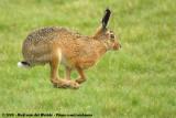 European Hare  (Europese Haas)