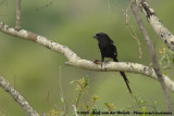 Eksterklauwier / Magpie Shrike