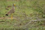 Lelkievit / African Wattled Lapwing