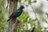Groenstaartglansspreeuw / Greater Blue-Eared Starling