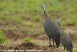 Helmparelhoen / Helmeted Guineafowl