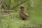 Wahlbergs Arend / Wahlberg's Eagle
