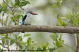 Senegalijsvogel / Woodland Kingfisher