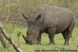 Rhinoceroses  (Neushoorns)