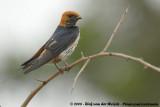 Savannezwaluw / Lesser Striped Swallow