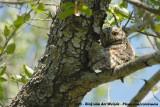 Afrikaanse Dwergooruil / African Scops-Owl