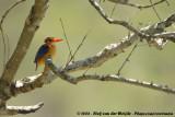 Afrikaanse Dwergijsvogel / African Pygmy Kingfisher