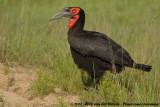 Zuidelijke Hoornraaf / Southern Ground Hornbill