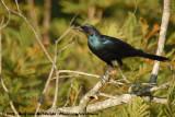 Grote Glansspreeuw / Burchell's Starling