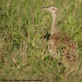 Zuid-Afrikaanse Kuiftrap / Red-Crested Korhaan