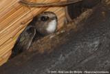 Huisgierzwaluw / Little Swift