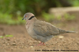 Treurtortel / African Mourning Dove
