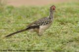 Zuidelijke Roodsnaveltok / Southern Red-Billed Hornbill