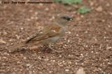Zuidelijke Grijskopmus / Southern Grey-Headed Sparrow