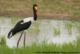 Zadelbekooievaar / Saddle-Billed Stork