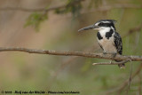 Bonte IJsvogel / Pied Kingfisher