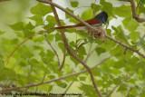 Afrikaanse Paradijsmonarch / African Paradise-Flycatcher