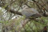 Kaapse Tortel / Cape Turtle (Ring-Necked) Dove
