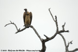 Witruggier / African White-Backed Vulture