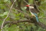 Bruinkapijsvogel / Brown-Hooded Kingfisher