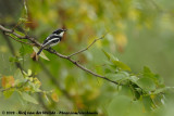 Witflankvliegenvanger / Chin-Spot Batis
