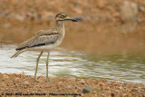 Watergriel / Water Thick-Knee