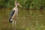 Afrikaanse Maraboe / Marabou Stork