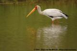 Afrikaanse Nimmerzat / Yellow-Billed Stork