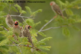 Roodbekwever / Red-Billed Quelea