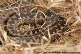 Common Viper  (Adder)