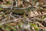 Sand Lizard  (Zandhagedis)