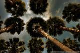 San Jose trees in HDR