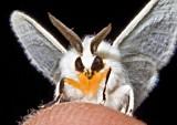 White Moth w- Yellow Cravat