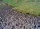 Macquarie Island Royal Penguin Rookery 2
