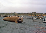 Macquarie Island Bullmaster Elephant Seal Growling