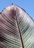 Big Leaf I Liked (Banana Foiliage?)