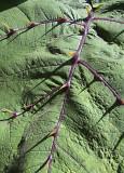 A Thorny Leaf