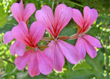'Bow Ties' Blossoms