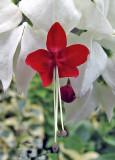 Clerodendrum thromsoniae  Glory Bower