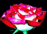 Eiffle Tower Rose