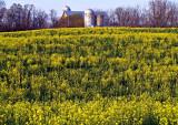 Wild Mustard Field  with Silo