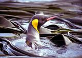 King Penguin in Bull Kelp