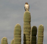 Hawk on Saguaro