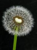 Dandelion second Phase