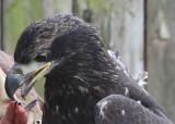 Eagle gets a treat