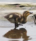 Duckling drinking